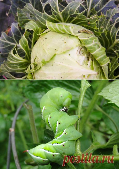 Гусеницы на капусте: как спасти, чем обработать, народные средства от бабочек