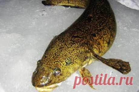 Зимняя ловля налима  Налим среди рыбаков считается весьма интересной рыбой, выудить которую в зиму не так-то просто. Хотя с приходом холодов налим активничает и даже мечет икру, ранняя подготовка к его ловле может дать б…