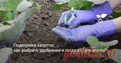 Подкормка капусты: как выбрать удобрения и когда их применять? Капуста – не самая сложная в выращивании культура. Но без должного ухода урожай вряд ли будет хорошим. Один из важных этапов агротехники капусты – это подкормка.