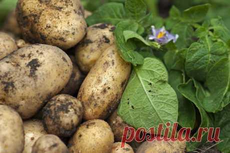 Как получить хороший урожай картофеля: метод Балабанова