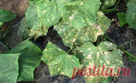 Las enfermedades básicas de los pepinos – la foto, las descripciones y los modos del tratamiento