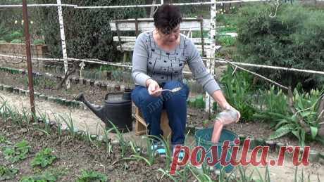 Чем подкормить чеснок весной, чтобы он не желтел. | Любимая усадьба | Яндекс Дзен