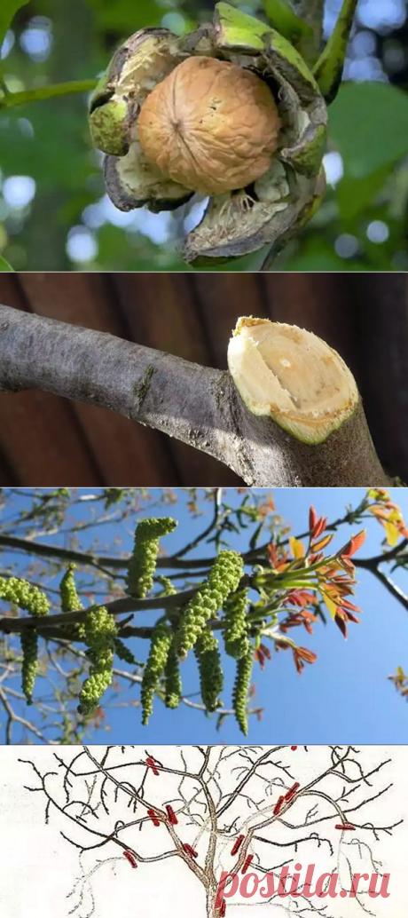 Как произвести обрезку грецкого ореха