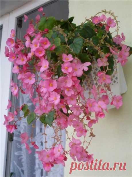 Мир комнатных растений и Цветов.Бегония.