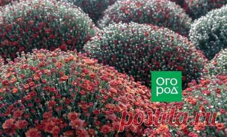 Как добиться пышного цветения хризантем: секреты профессионалов | Астры, Хризантемы (Огород.ru)