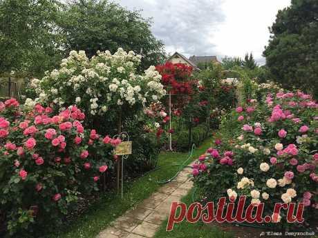 Розовая мечта: сад-розарий Елены Демьянчук | Сады и цветы | Яндекс Дзен