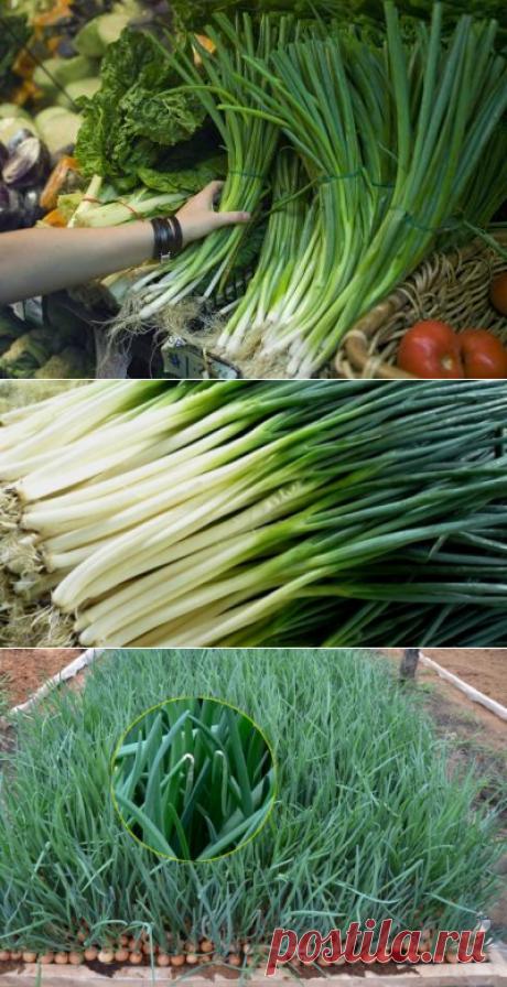 Выращивание лука на перо для нужд семьи и на реализацию