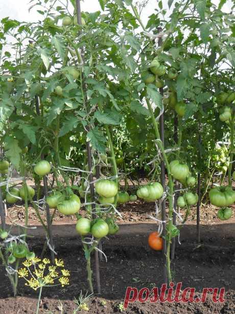 Вкусный Огород: Какие сорта помидор лучше садить