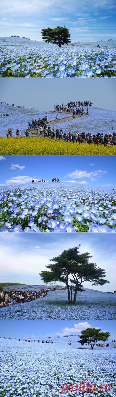 Цветение немофил в японском парке, привлекающий толпы туристов — Туризм