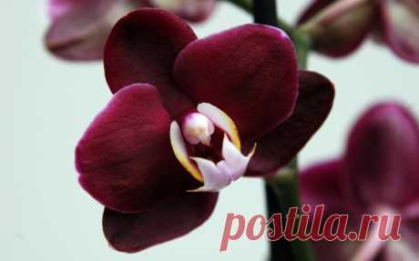 Как правильно пересаживать орхидею и когда это делать Какие условия требуются для хорошего роста орхидей Орхидея — тропический цветок, который растет в жарком и влажном климате Азии, причем корни ее не погружены в землю, а ползут по поверхности, цепляясь...