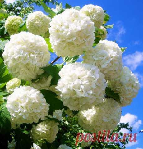Снежные шары декоративного кустарника Бульденеж — 6 соток