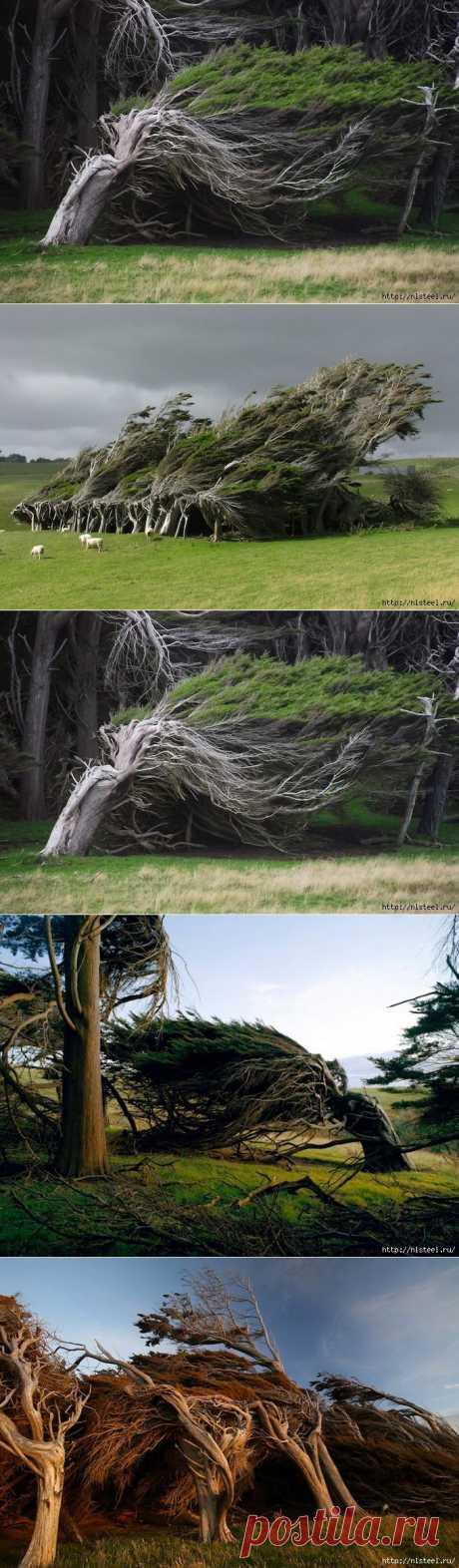 Удивительные деревья-чудовища в Новой Зеландии.