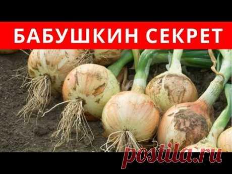 БАБУШКИН СЕКРЕТ посадки ЛУКА-СЕВКА - YouTube