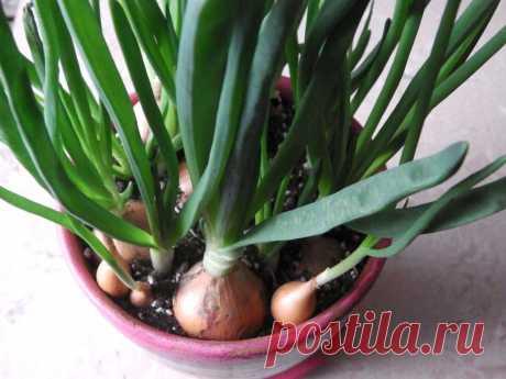 В небольшом горшке выращиваю много зеленого лука — всё дело в своеобразной схеме посадки   Собираем урожай   Яндекс Дзен