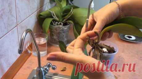 Отличный способ реанимации орхидеи! И столько цветков потом на 1 ветке!  Цветы орхидеи имеют более 35 000 видов разновидностей и сортов орхидей. В природе орхидеи можно встретить в любой части земли, но лишь малую часть из этого большого многообразия можно принять за комн…