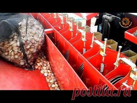 Как сажают чеснок и фасоль в Корее