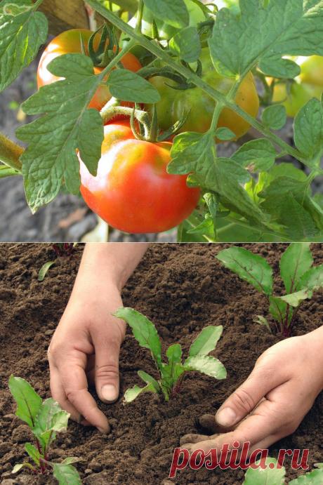 Хитрости огородных грядок. Что после чего сажать. Как вырастить урожай помидоров всем на зависть.