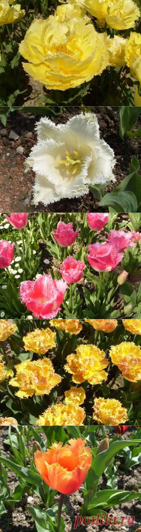 Удивительные бахромчатые тюльпаны.Необычная красота тюльпанов из садового класса бахромчатых заключена в бахроме их жестких игольчатых выростов, идущей по краям лепестков.Бахромчатые тюльпаны гармонично вписываются в весеннюю картину миксбордера.