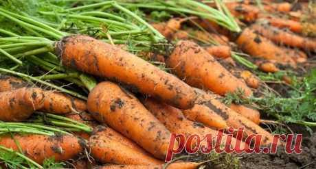 Чудо - подкормка, после которой морковь растет Морковь - неприхотливый корнеплод, но часто бывает так что урожай получается кривым и скудным, но я нашла решение этой проблемы. И уже на протяжение многих лет морковка у меня крупная, ровная и сладкая...