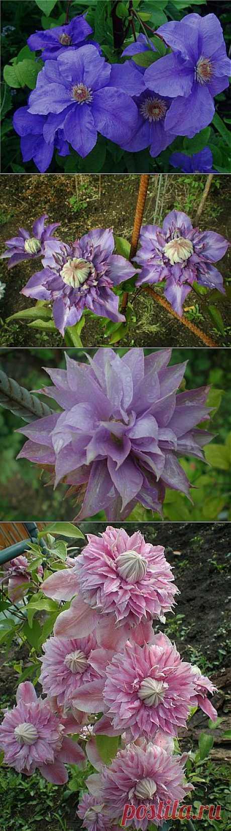 Клематис. (Clematis) Выращивание и уход - Цветочный форум