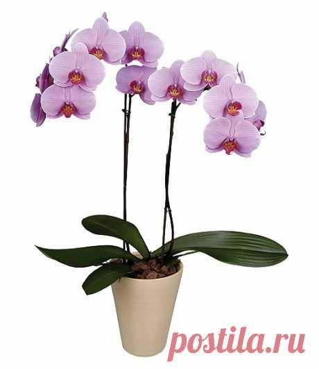 Искусство ухода за орхидеями.