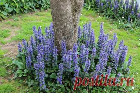 7 лучших растений для приствольных кругов. Названия, описания, фото — Ботаничка.ru