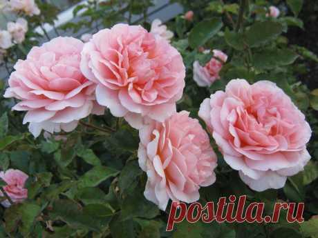 Розы - 654 фото. Фотографии Татьяна Петрушевская.