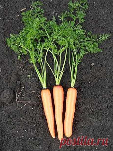 Вкусный Огород: Сорта и гибриды моркови, А - Я