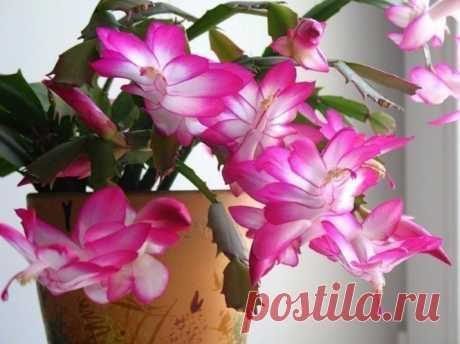 Маленькая хитрость: чтобы цветы в доме цвели пышно и долго! Давно ли Ваш любимый цветок цвел, как в магазине цветов, не помните? Вот и я уже почти позабыла. Вроде и подкармливаю его, а он все не радует пышным цветением. Маленькая хитрость: чтобы цветы в доме цвели пышно и долго!  Но вот недавно зашла в гости к подруге, а у неё цветы просто загляденье, все
