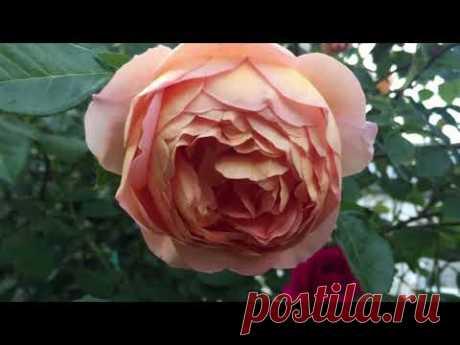 Как вырастить РОСКОШНЫЕ розы !!!  ОСНОВНЫЕ правила +200% результат!