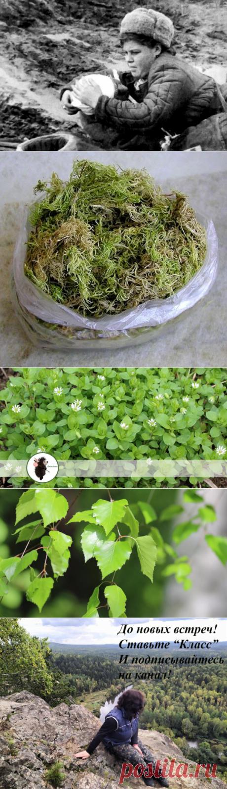 Сфагнум вместо ваты, а мокрица как обезбаливающее (растения в медицине 1941 - 1945 гг) | ЁжикTravel | Яндекс Дзен