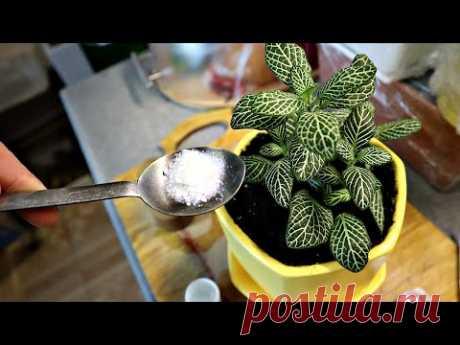 1 Чайная ложечка под любой домашний цветок и пышное цветение вам обеспечено! Цветет замечательно!