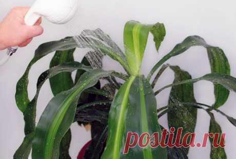 Горячий душ для комнатных растений. Как правильно вымыть цветы | Комнатные растения | Яндекс Дзен