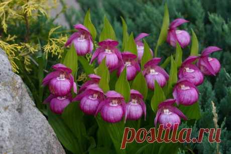 Садовые орхидеи: посадка и уход в открытом грунте. Виды и сорта садовой орхидеи, фото