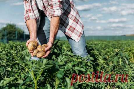 Кому нельзя ежедневно употреблять картофель / Будьте здоровы