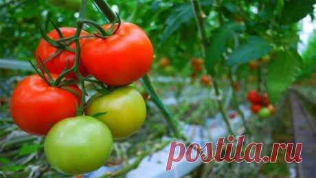 Календарь ухода за томатами по месяцам  В этой публикации предлагаем читателям ознакомится с полным календарём ухода за томатами по месяцам. Конечно, следует знать, что основные периоды – цветения, формирования завязей, созревания – могут …