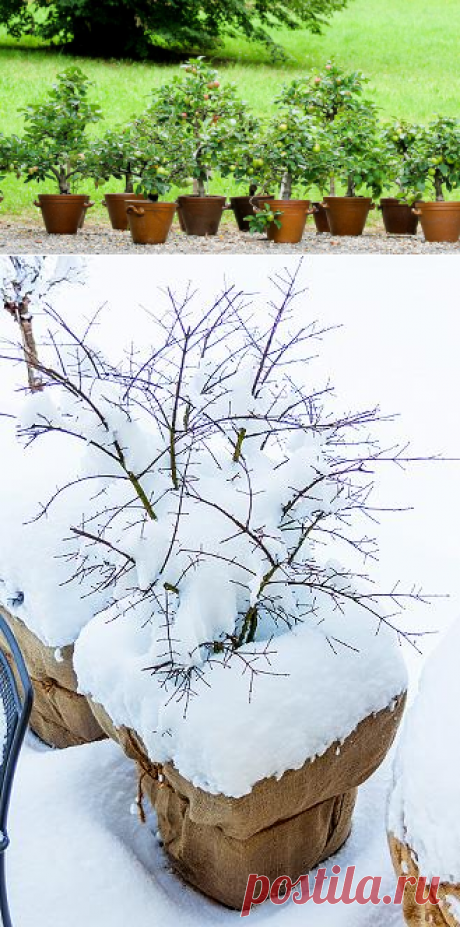 Многолетники и кустарники в кадках: какие растения можно выращивать в контейнерной культуре? на Supersadovnik.ru