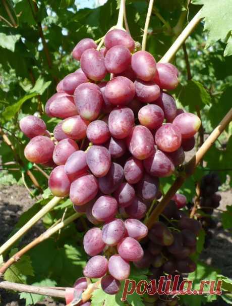 Виноград Ромина (гф Бурдака) — описание сорта, фото, отзывы, видео, где купить.