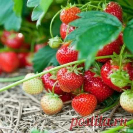 Как сажать клубнику в августе, чтобы не беспокоиться об урожае в следующем году - МирТесен