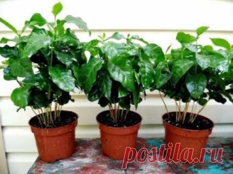La cultivación del café el arábica en las condiciones de habitación: la preparación del árbol para la plantación, el cuidado de la planta