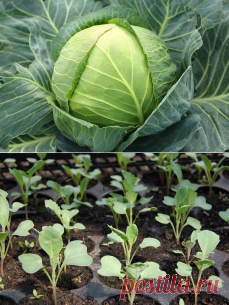 Почему не растет капуста после высадки в открытый грунт - причины