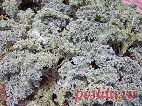 Капуста кале - неприхотливый овощ, который требует минимального ухода | Садовник | Яндекс Дзен
