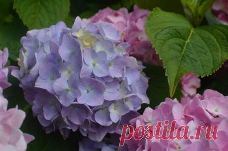 Почему не цветёт гортензия? | 6 соток