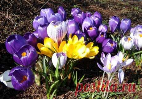 Крокус | Садовые цветы