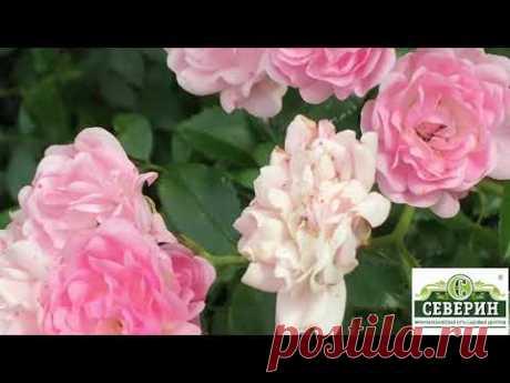 Хотите не укрывную розу в свой сад? Нет проблем!