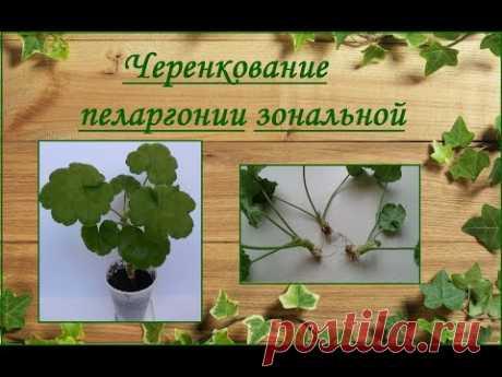Пеларгония зональная - укоренение черенков - YouTube