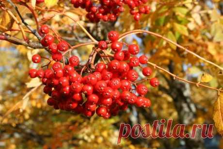 Рябина красная в моем саду Рябина красная, или обыкновенная – великолепное плодовое и декоративное растение, которое является настоящим украшением участка. А еще это – очень ценное лекарственное растение. Ягоды рябины – отличное профилактическое и лечебное средство при авитаминозах, ведь витамина С в них больше, чем в...