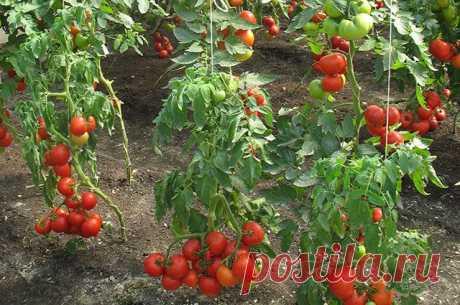 Помидоры: советы по уходу и решению проблем Опытные овощеводы отвечают на самые злободневные вопросы дачников о томатах.