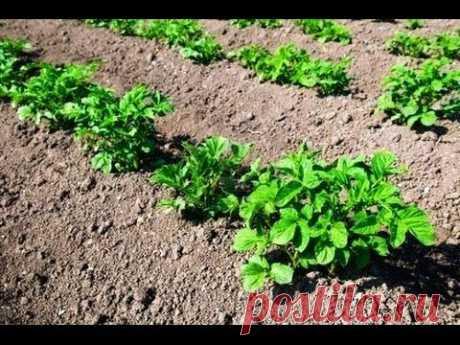Выращивание раннего картофеля — рассадой - YouTube