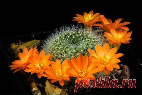 В каких условиях цветут кактусы и как заставить их это сделать В каких условиях цветут кактусы и как заставить их это сделатьТо, как цветет кактус, завоёвывает сердца садоводов с первого взгляда. Хрупкие цветки на колючем, игольчатом стебле смотрятся немного футу...